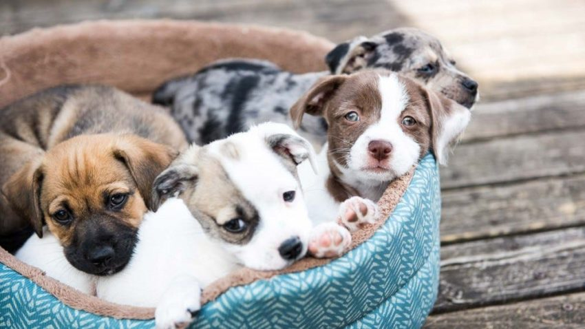 Basic Things to Consider Before Getting a Puppy