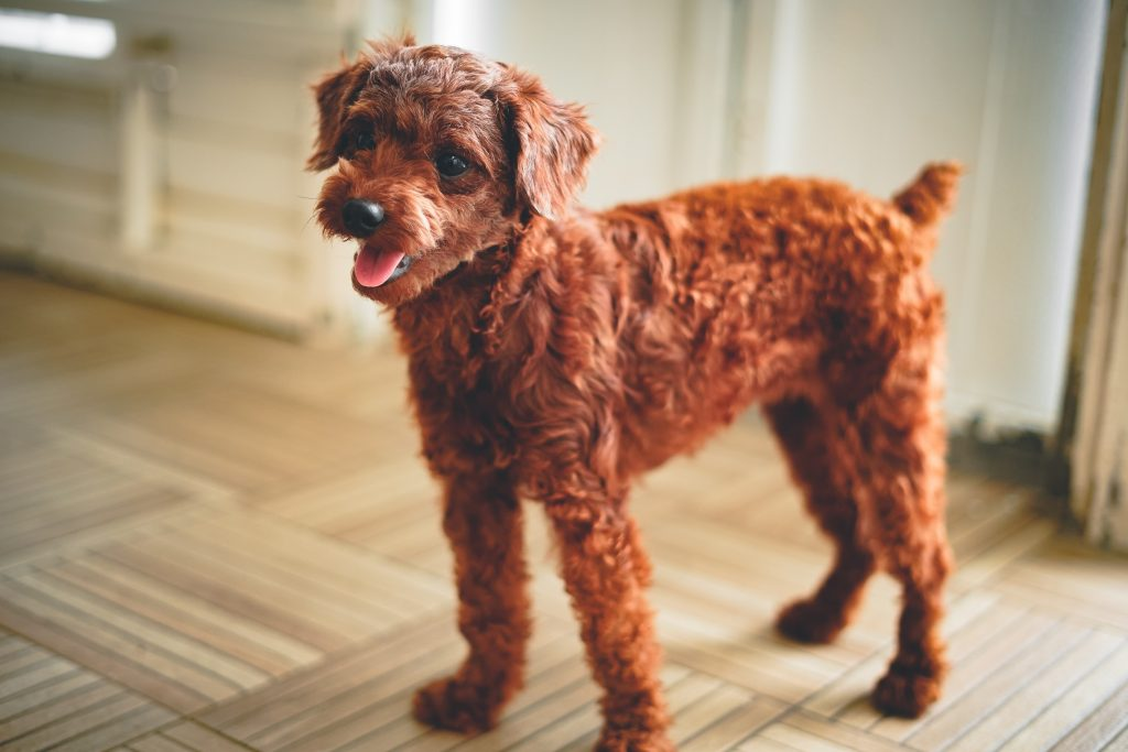 grooming tips for curly hair dogs