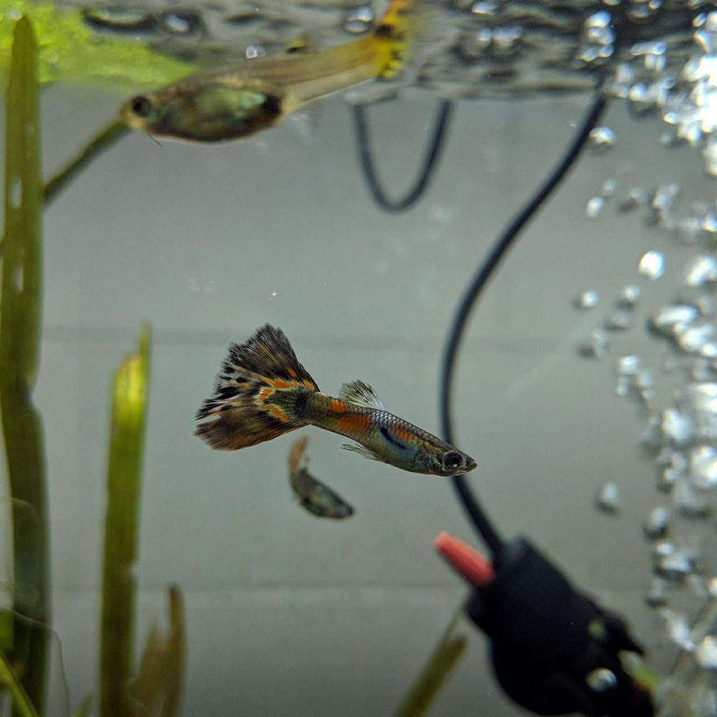How Long Do Guppies Live; Choose the Right Water Parameters