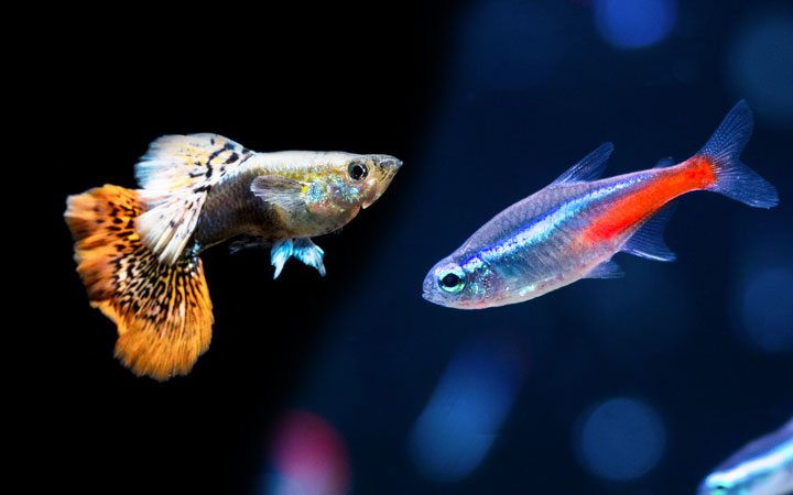 How Long Do Guppies Live; Make sure Your Guppies are In Good Company