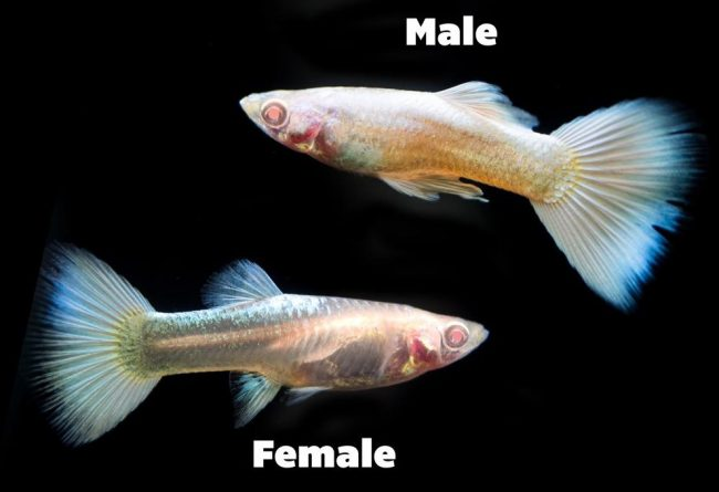 How Long Do Guppies Live; Male Guppies Or Female Guppies - Which has a longer Lifespan