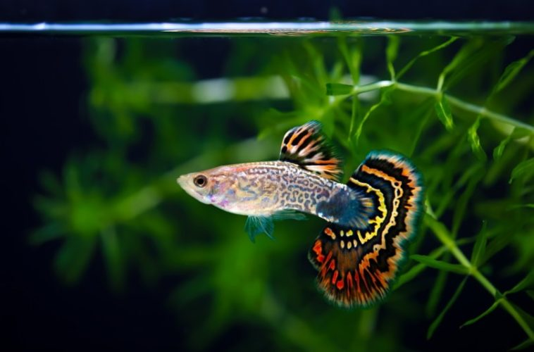 How Long Do Guppies Live; Switch To a Bigger Fish Tank